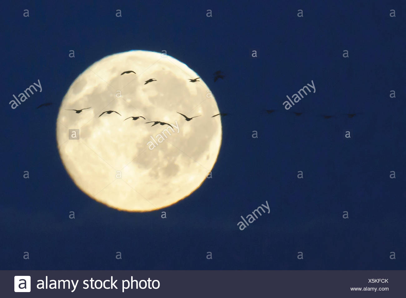 full moon with migratory birds, goldenstedter moor, lower saxony, germany - Stock Image