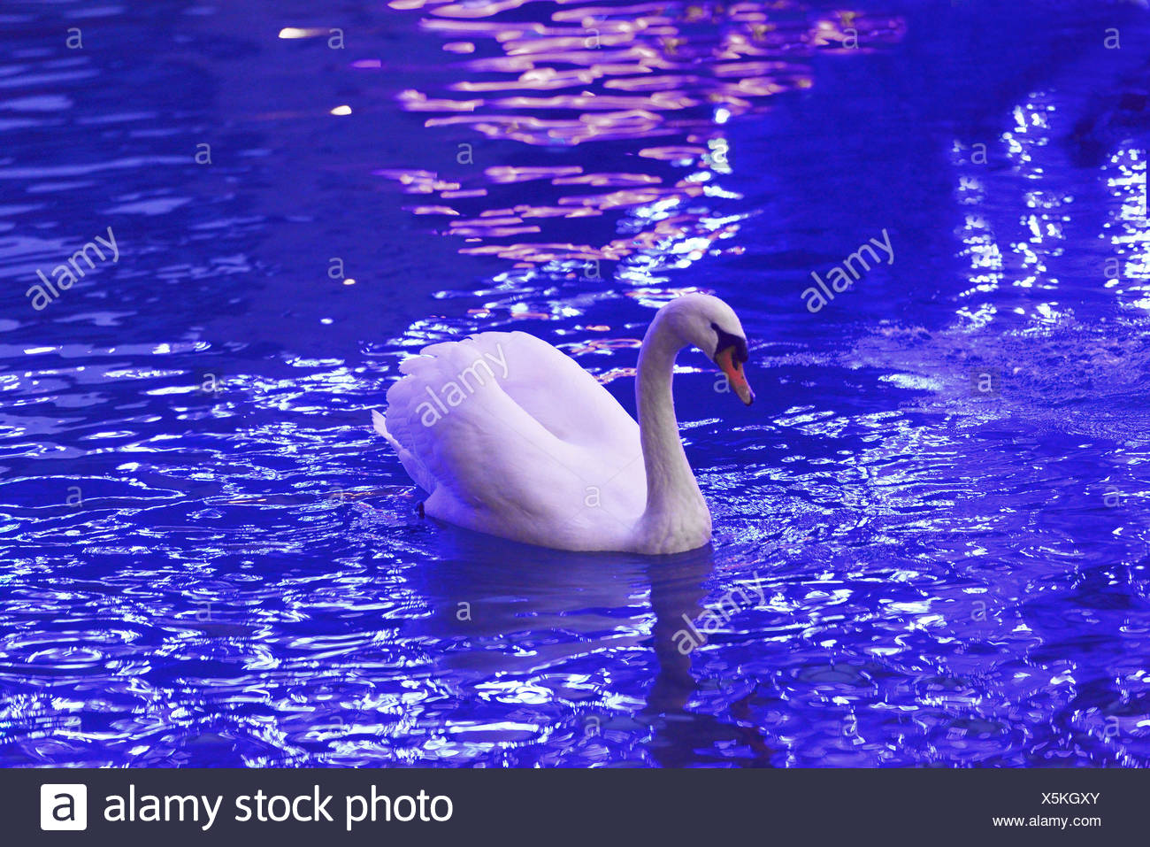 mute swan (Cygnus olor), in a canal near Annecy, France, Savoie - Stock Image