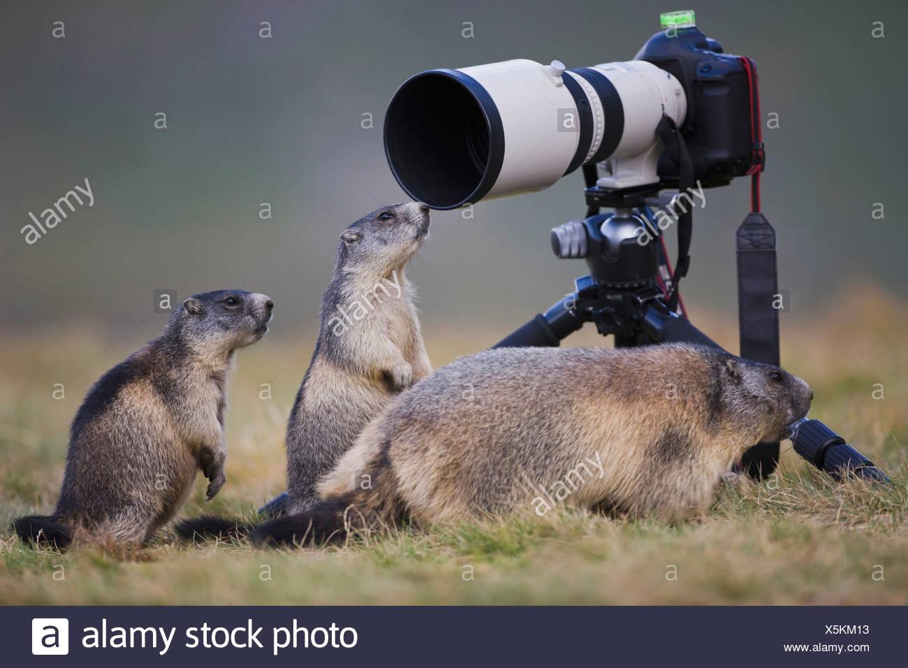 Austria, Alpine Marmots (Marmota marmota) next to camera - Stock Image