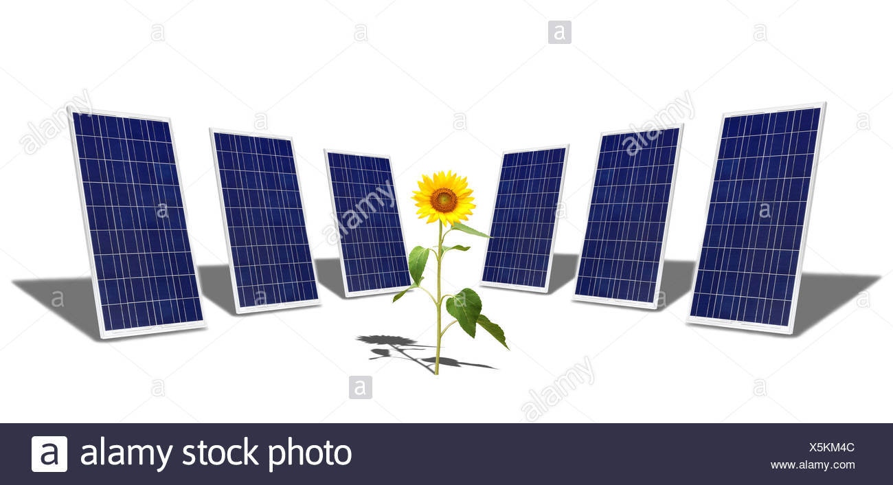 object flower sunflower plant solar panel width of material backdrop background - Stock Image
