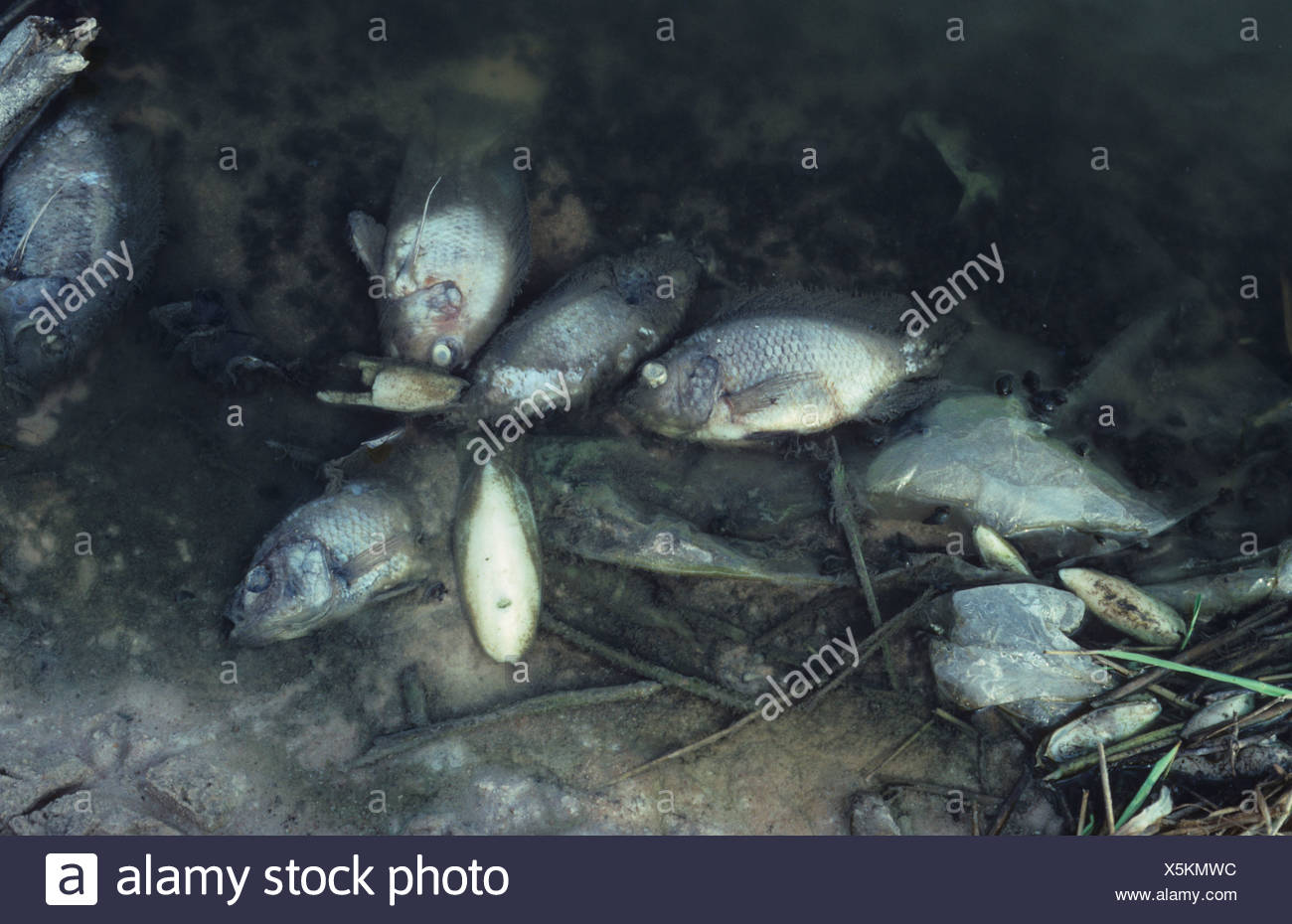 Dead fish at the edge of a polluted lake - Stock Image