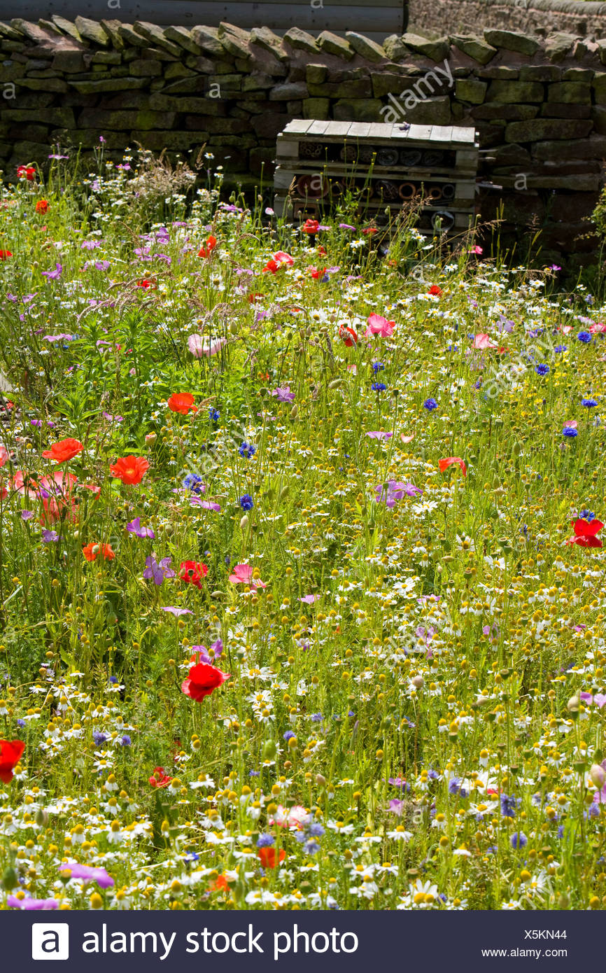 wild area in a country garden with poppies - Stock Image