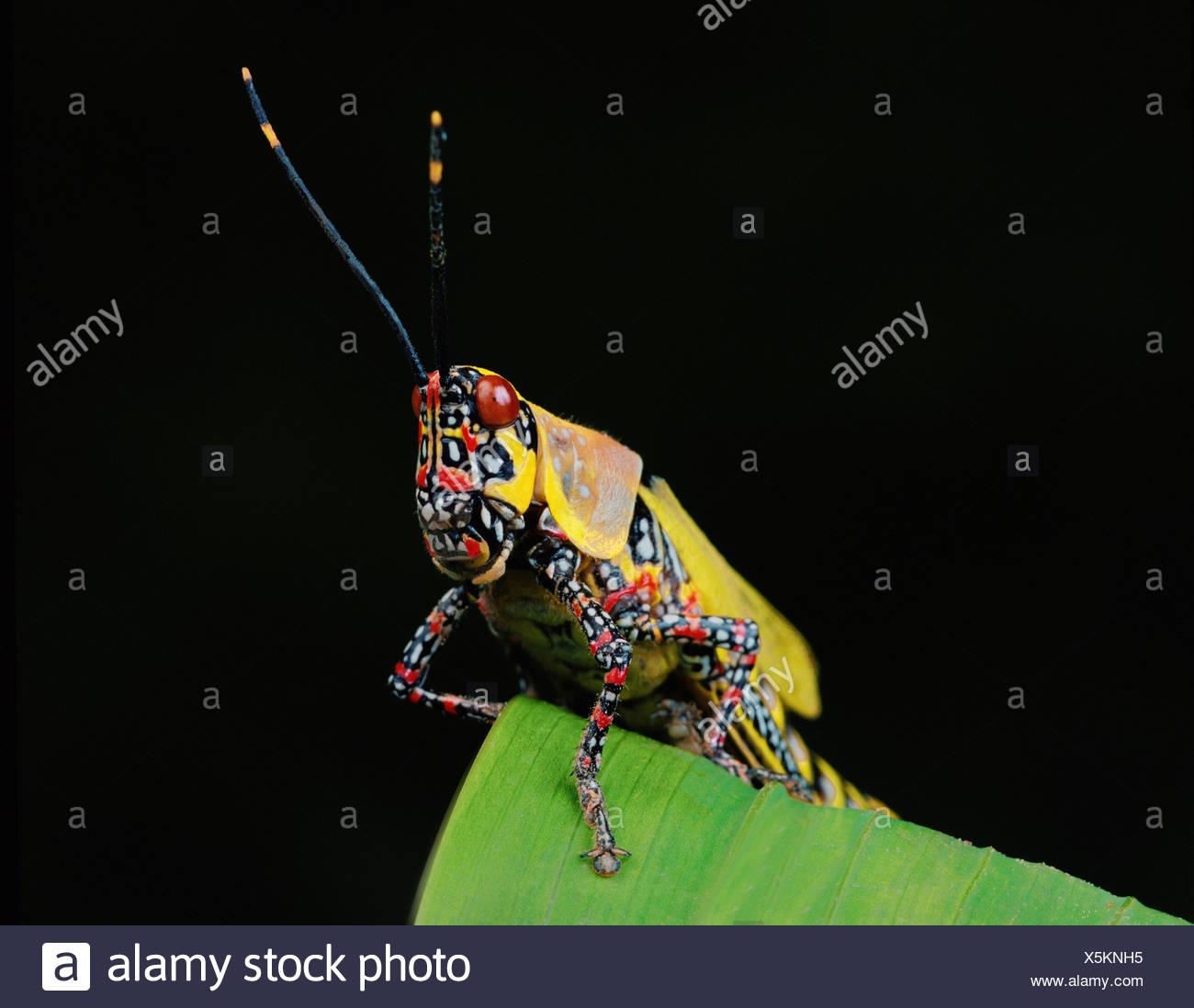 Multi colored locust - Stock Image