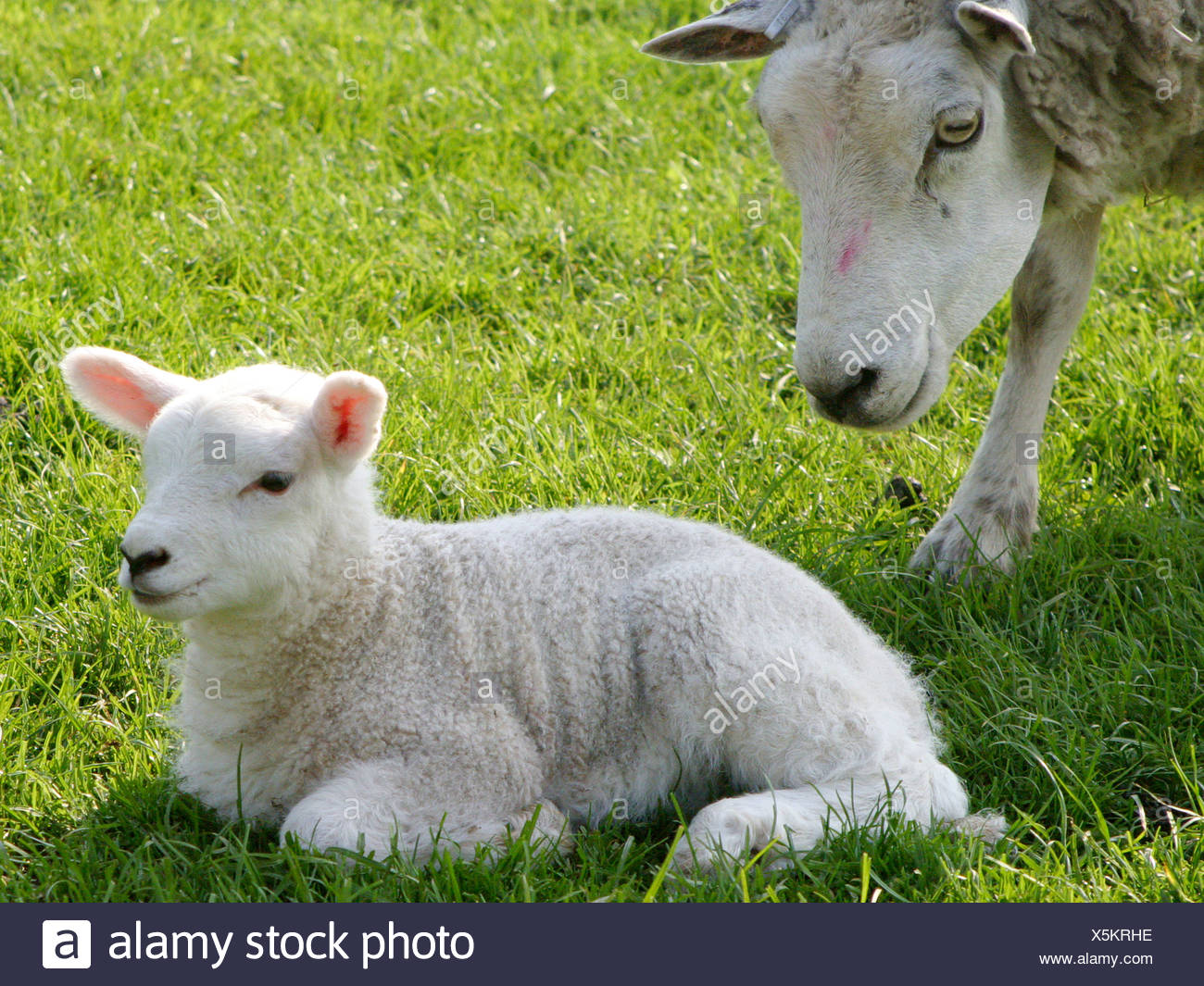 A lamb and its mother. - Stock Image