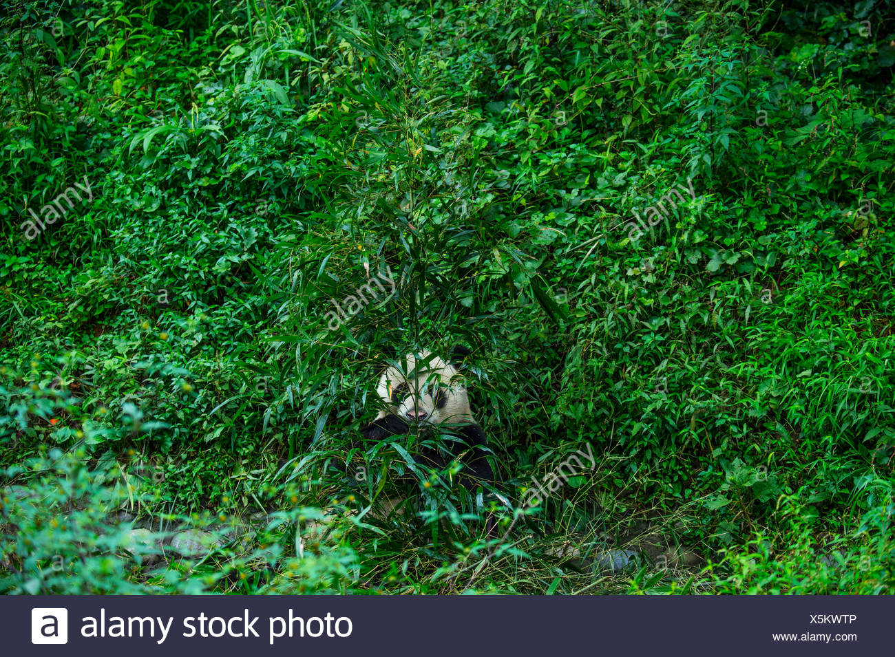 A giant panda spends much of the day surrounded by and munching on bamboo at Bifengxia Giant Panda Breeding and Research Center. - Stock Image
