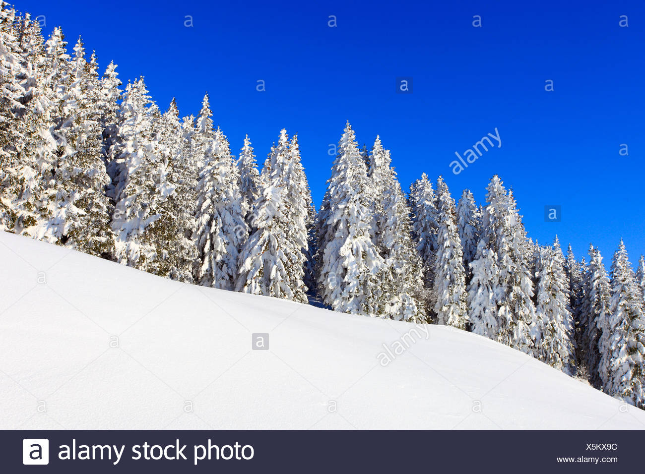 snow-covered slope in front of conifer forest, Switzerland, Gurnigel - Stock Image