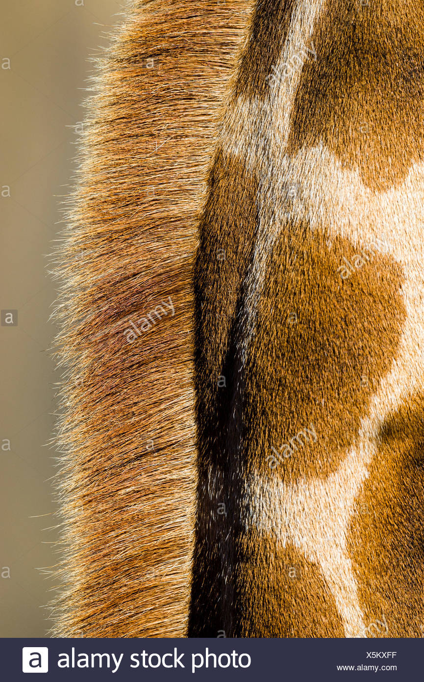 The reticulated mosaic fur pattern on the skin of a Giraffe neck and mane hair. - Stock Image