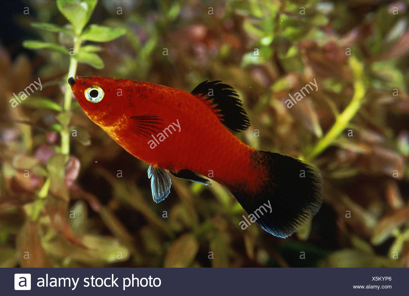 Platy Stock Photos & Platy Stock Images - Page 3 - Alamy