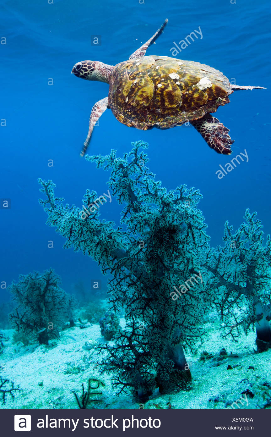 Hawksbill turtle swimming over corals. Komodo National Park, Indonesia. (Digital composite). (Eretmochlys imbricata) - Stock Image