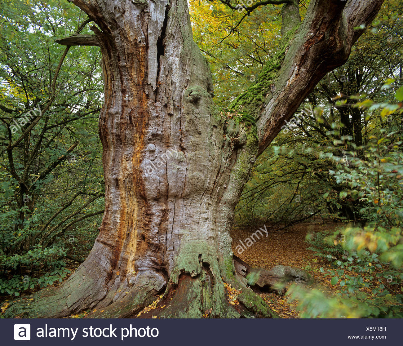 Old oak tree (Quercus sp.), jungle at Sababurg castle, Reinhardswald forest region, Hofgeismar, Lower Saxony, Germany, Europe - Stock Image