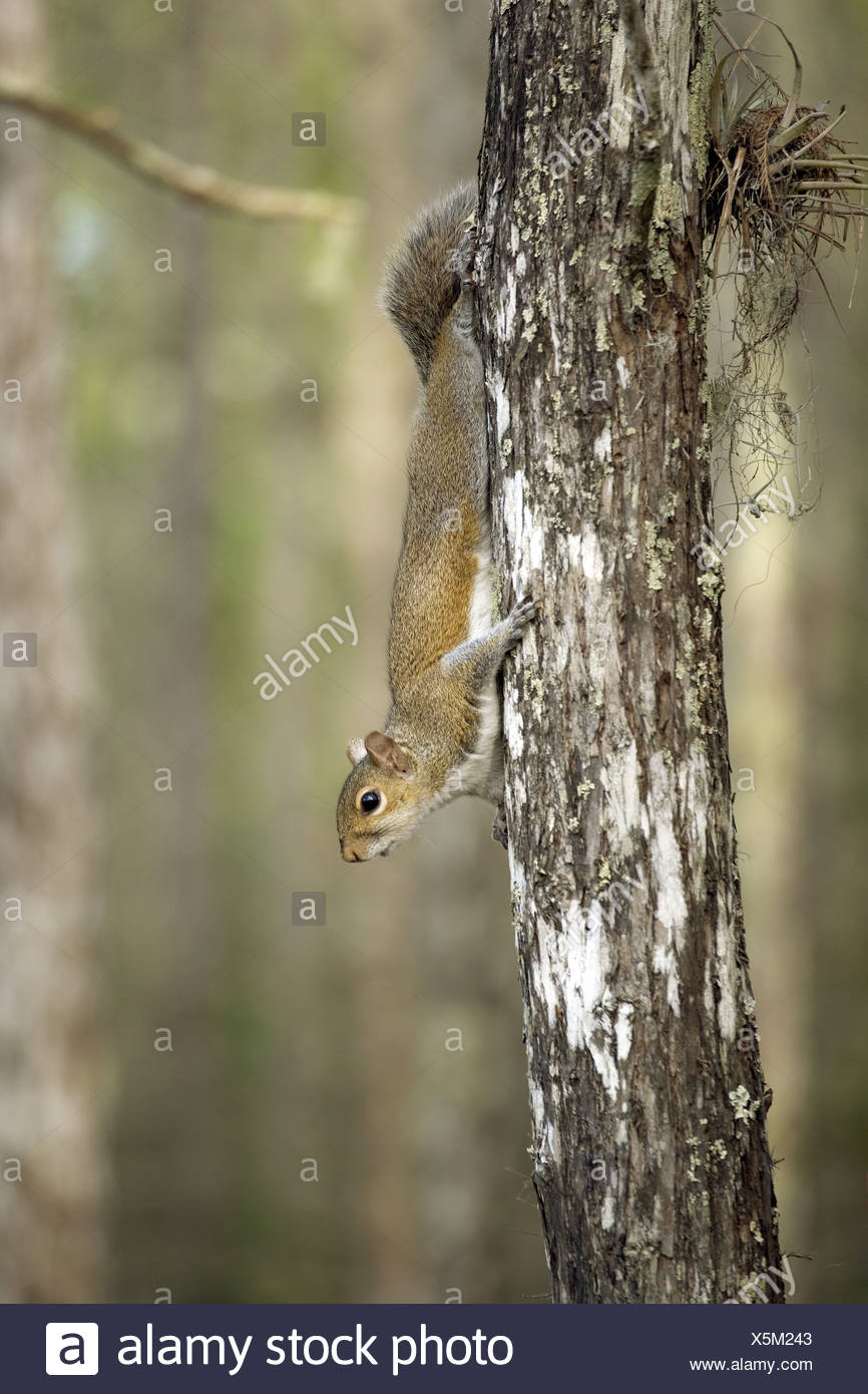 zoology / animals, mammal / mammalian, Sciuridae, Eastern Gray Squirrel (Sciurus carolinensis), sitting on trunk, Corkscrew Swamp Sanctuary, Florida, USA, distribution: North America, Europe, South Africa, Additional-Rights-Clearance-Info-Not-Available - Stock Image