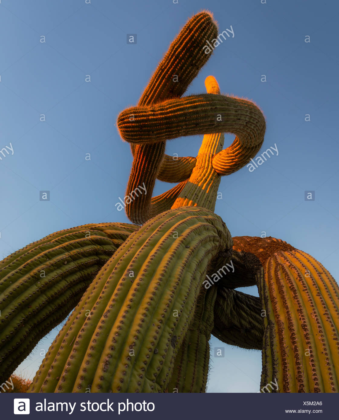 Low angle view of Saguaro cactus (Carnegiea gigantea) with twisted lowered arms drooping to the ground, a result of frost damage - Stock Image