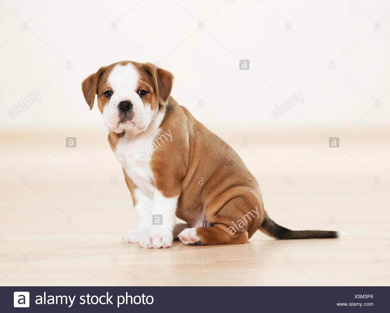 Continental Bulldog Puppy Sitting Cut Out Stock Photo Alamy