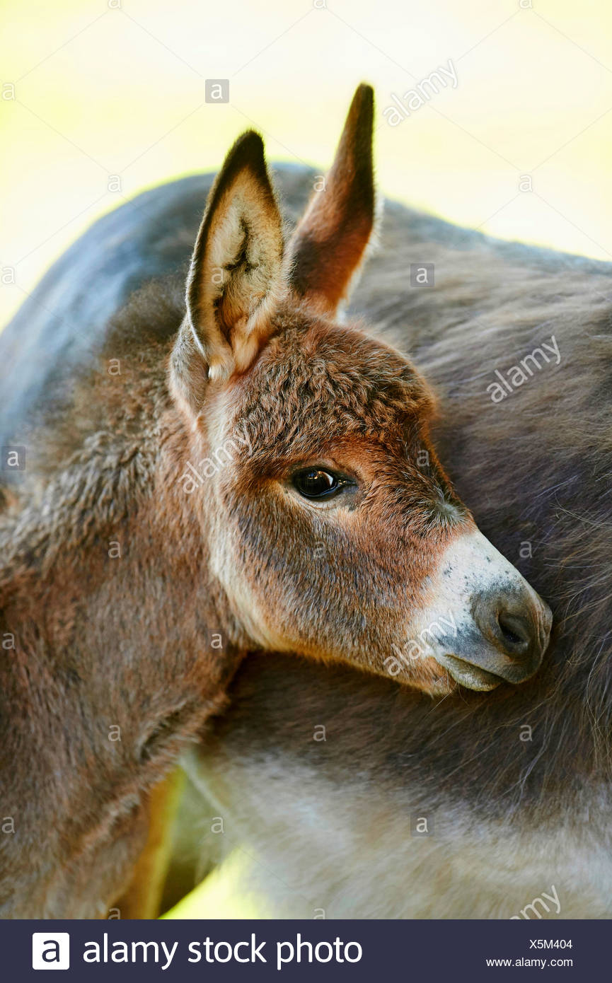 Domestic donkey (Equus asinus asinus), donkey foal standing by its mother, portrait, Germany - Stock Image