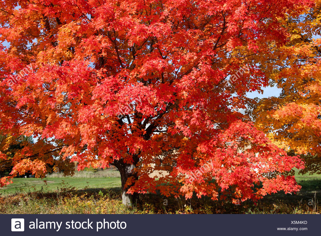 Maple tree, Doctors Hill, Gagetown, New Brunswick, Canada - Stock Image