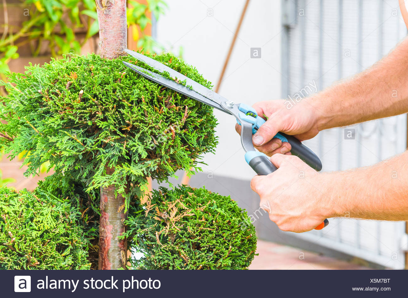 Hands, hedge trimmer and tree - Stock Image