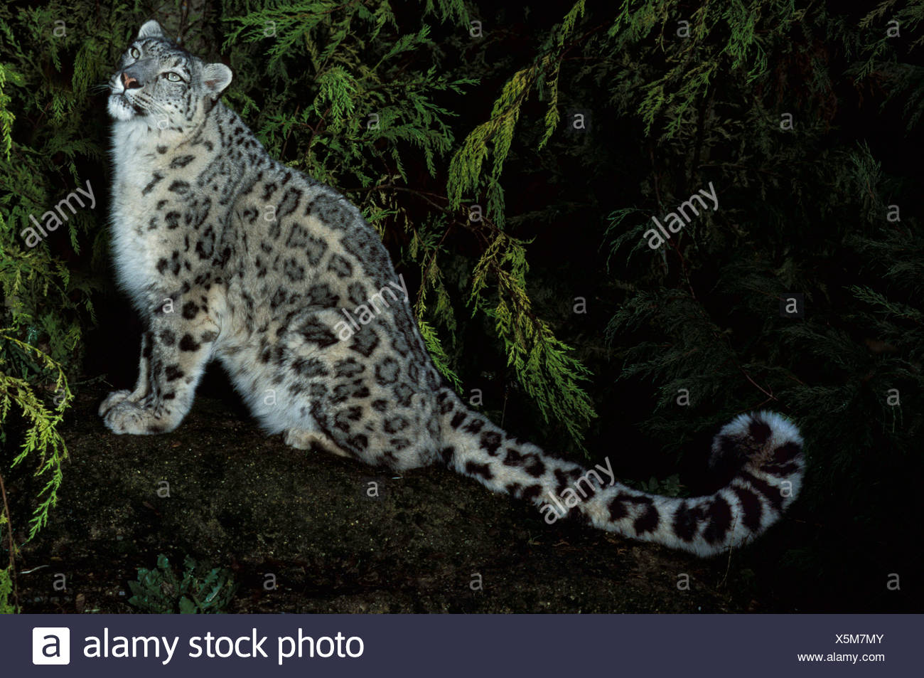 Snow Leopard (Panthera uncia) - captive, nocturnal, showing long strong thick tail, spotted pattern dense fur - Stock Image
