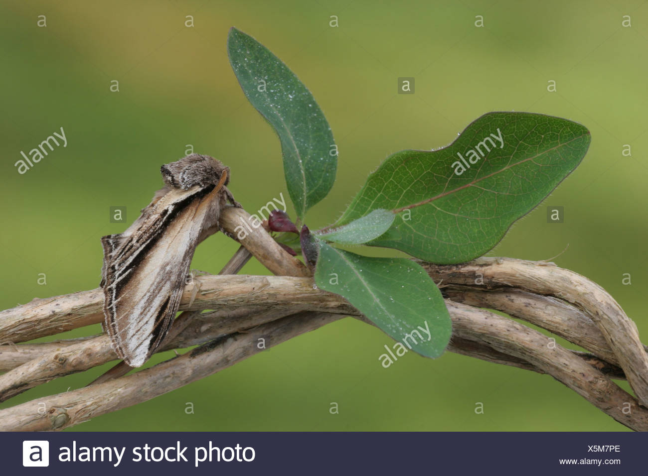 Swallow Prominent (Pheosia tremula) adult, resting on Honeysuckle (Lonicera periclymenum) stem, with raindrops on leaves, - Stock Image
