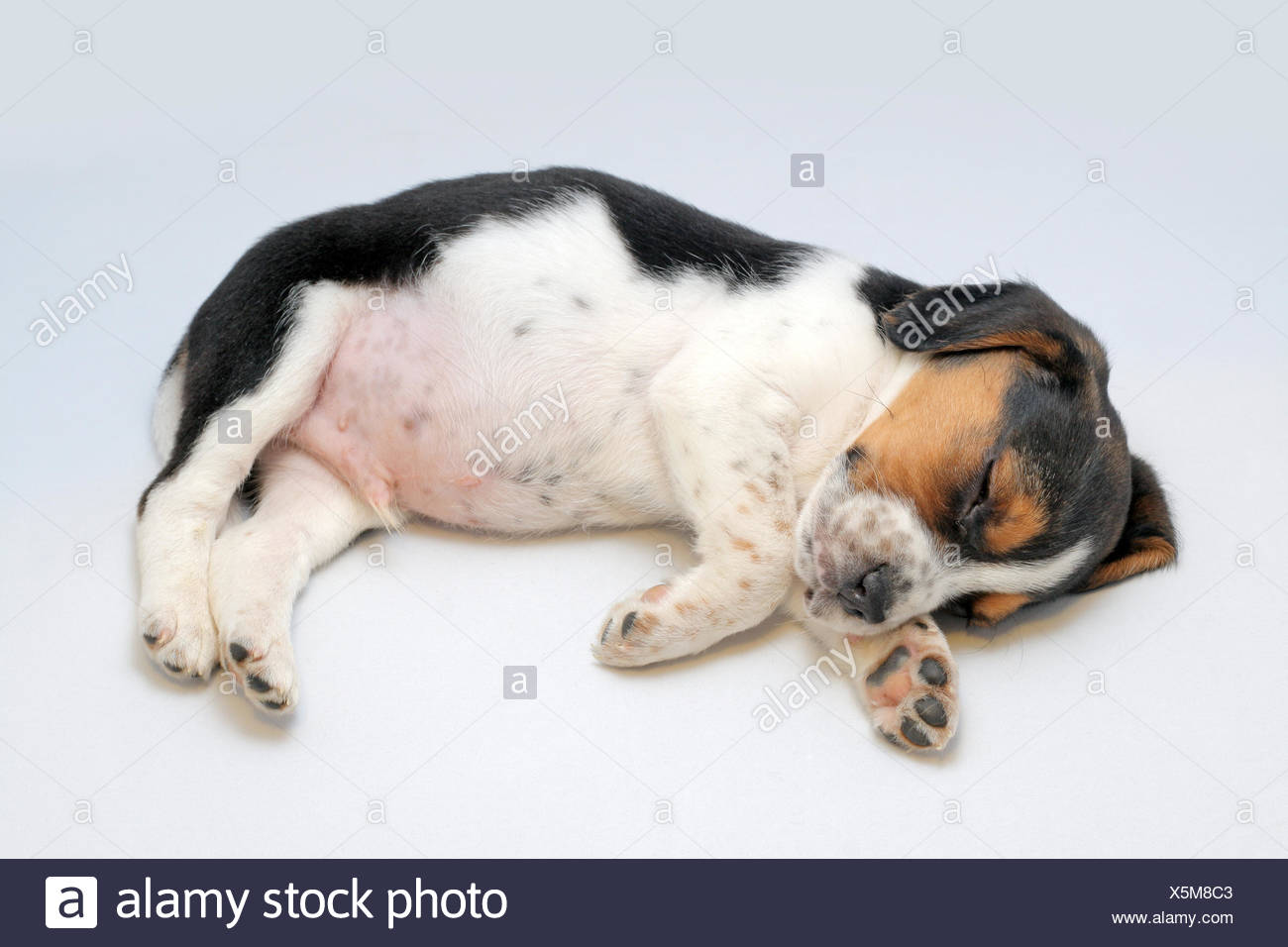 Cute tricolor beagle puppy sleeping on the white background - Stock Image