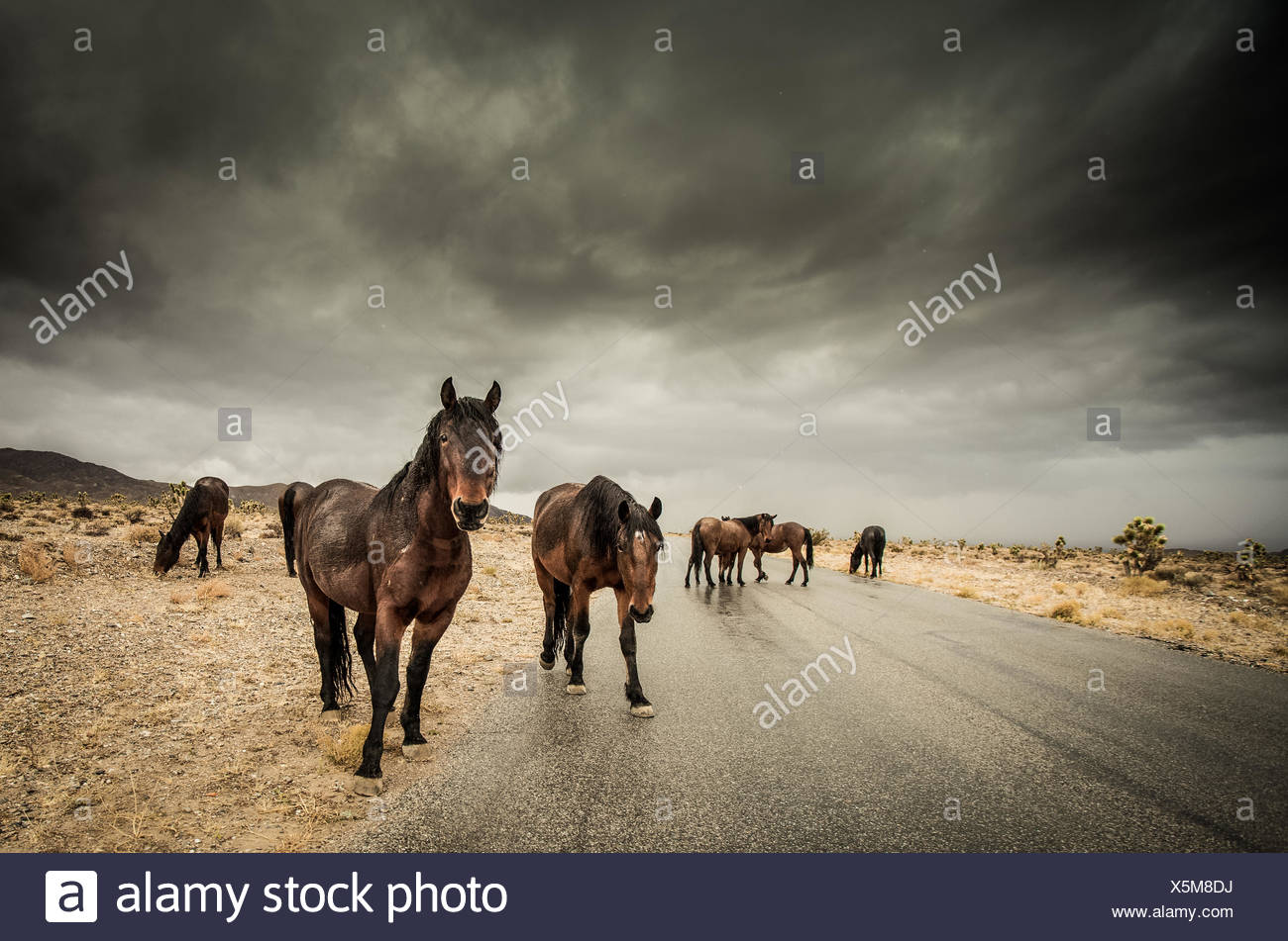 Herd of horses walking along road - Stock Image