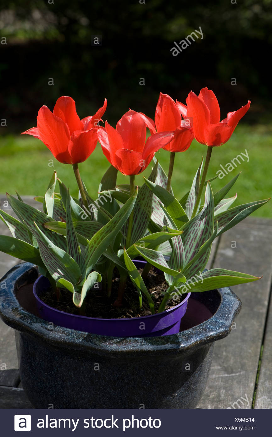 Tulips 'Red Riding Hood' in floor in a pot - Stock Image