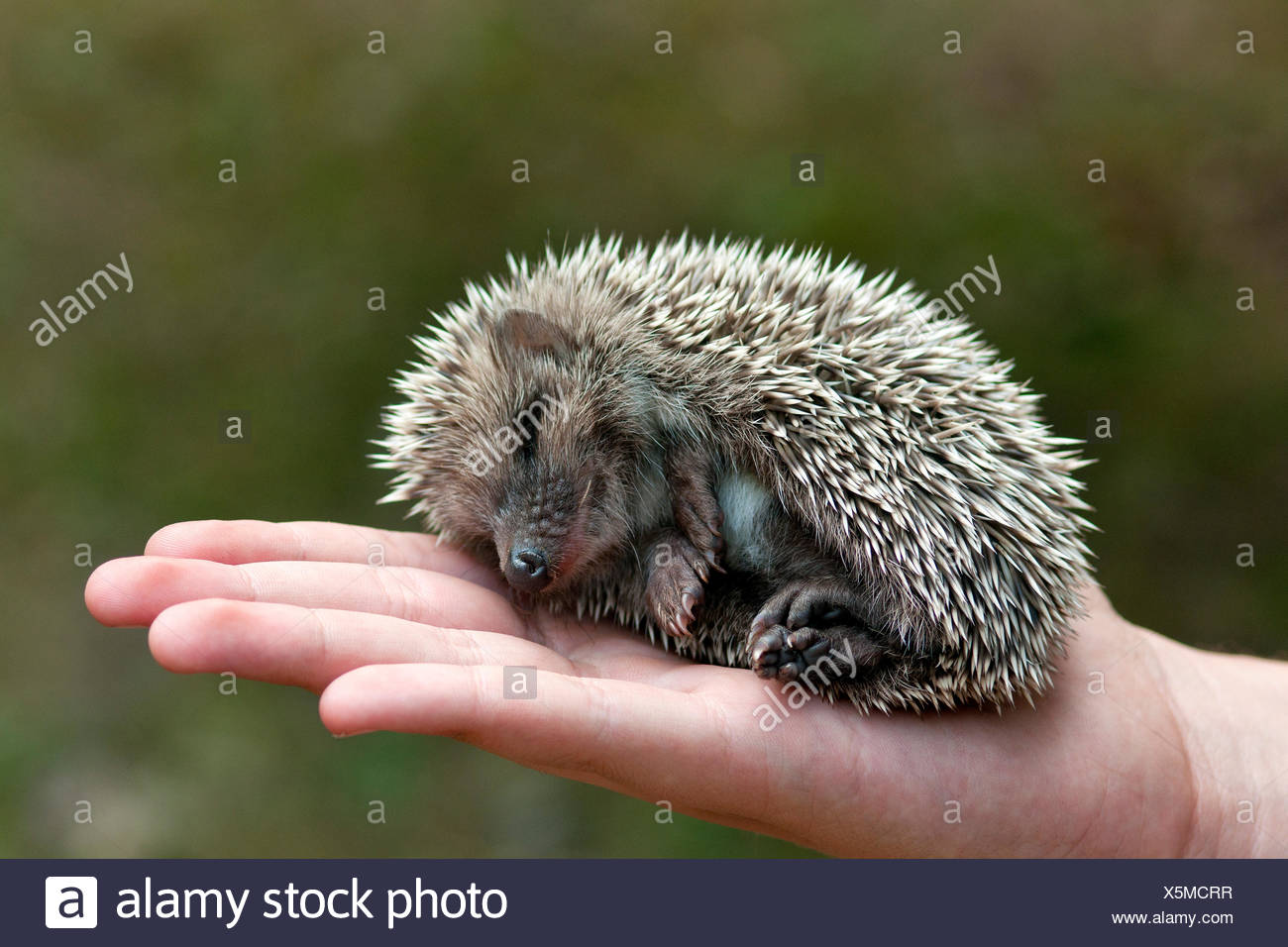 hedgehog mammal wild - Stock Image