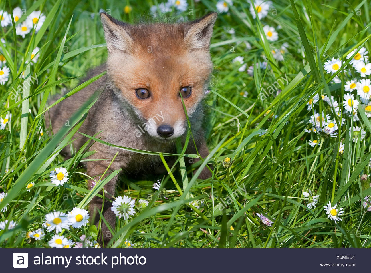 red fox (Vulpes vulpes), whelp sitting in a meadow, Germany - Stock Image