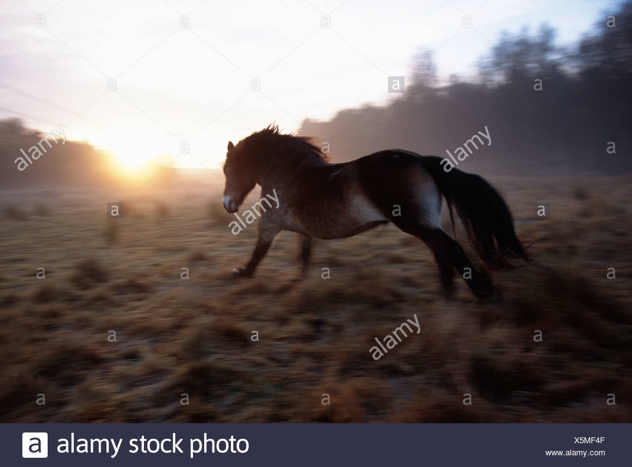 A north Swedish horse, Gothenburg, Sweden. - Stock Image
