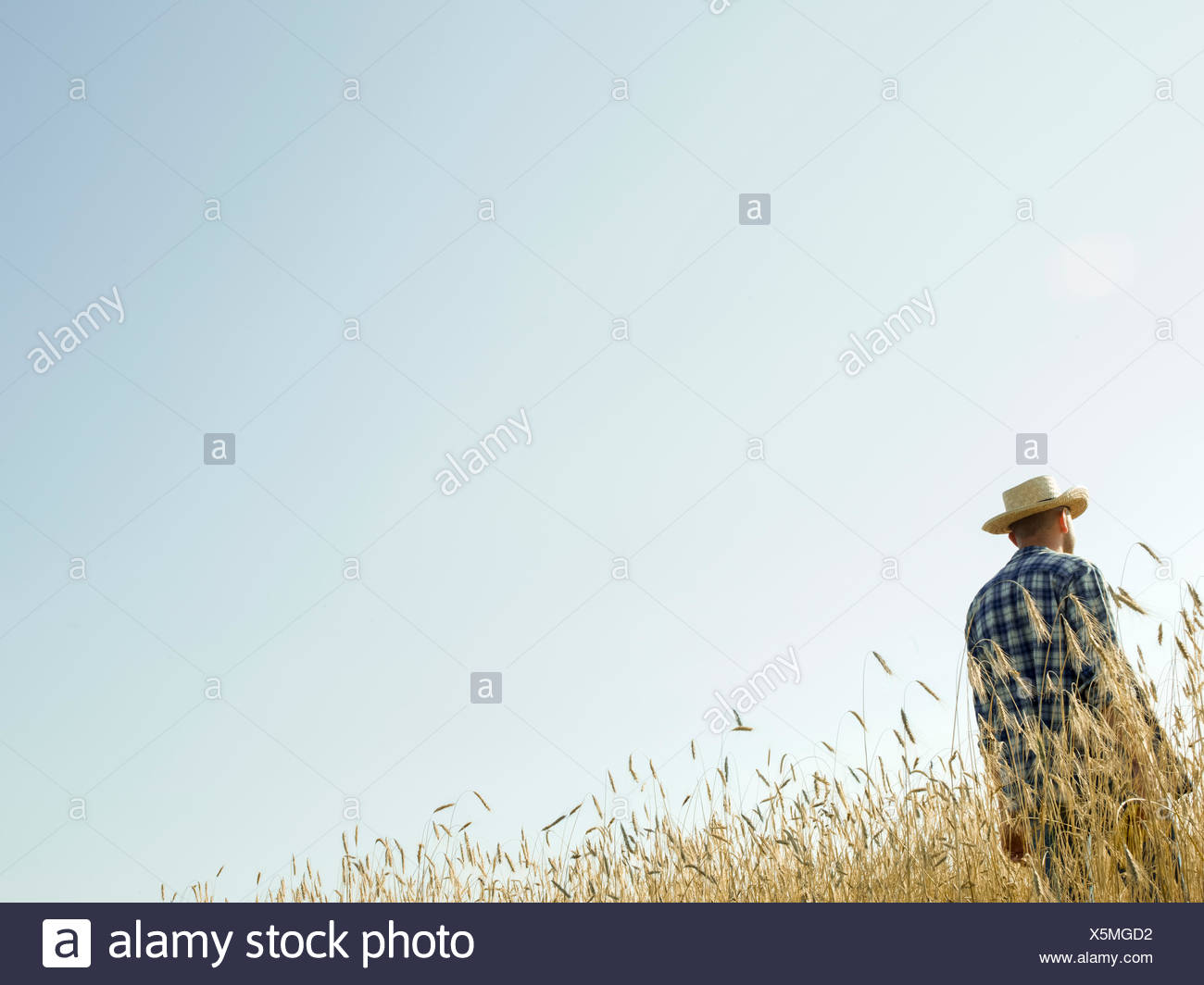 A man standing in a field of ripening wheat crop. - Stock Image