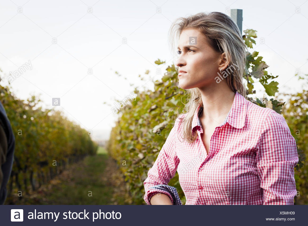 Young woman harvesting grapes in vineyard - Stock Image
