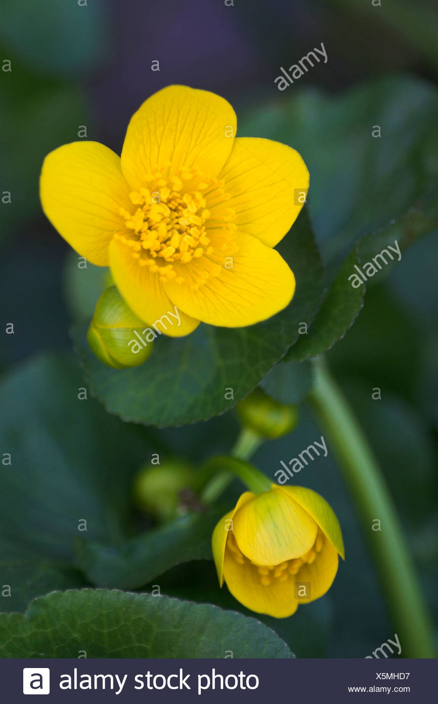 Kingcup, Marsh Marigold (Caltha palustris) in the Eyach Valley, Northern Black Forest, Baden-Wuerttemberg, Germany, Europe Stock Photo