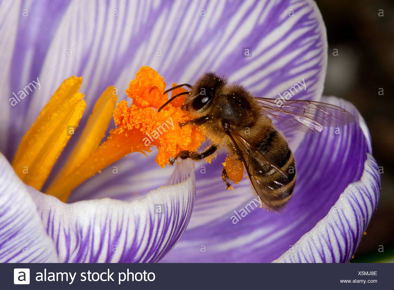 honey bee, hive bee (Apis mellifera mellifera), on a crocus, Germany - Stock Image