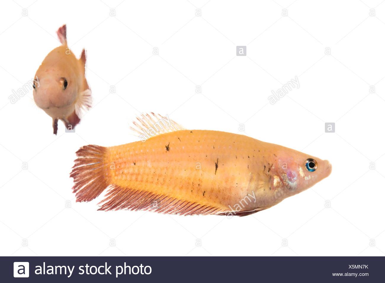 Siamese Fighting Fish, female (Betta splendens) Stock Photo