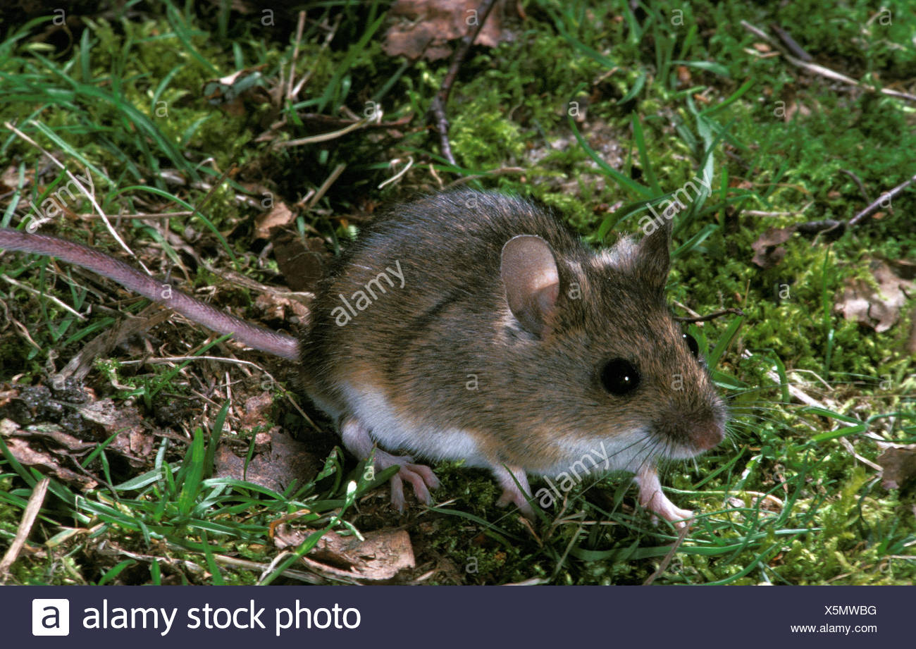 A forest mouse is that of an animal