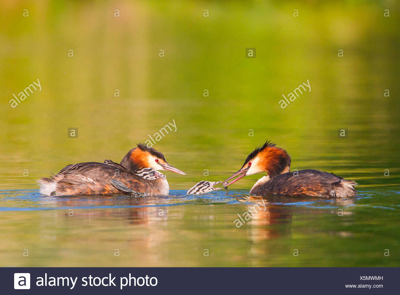 Great Crested Grebes (Podiceps cristatus), feeding a chick on the water, North Hesse, Hesse, Germany - Stock Image