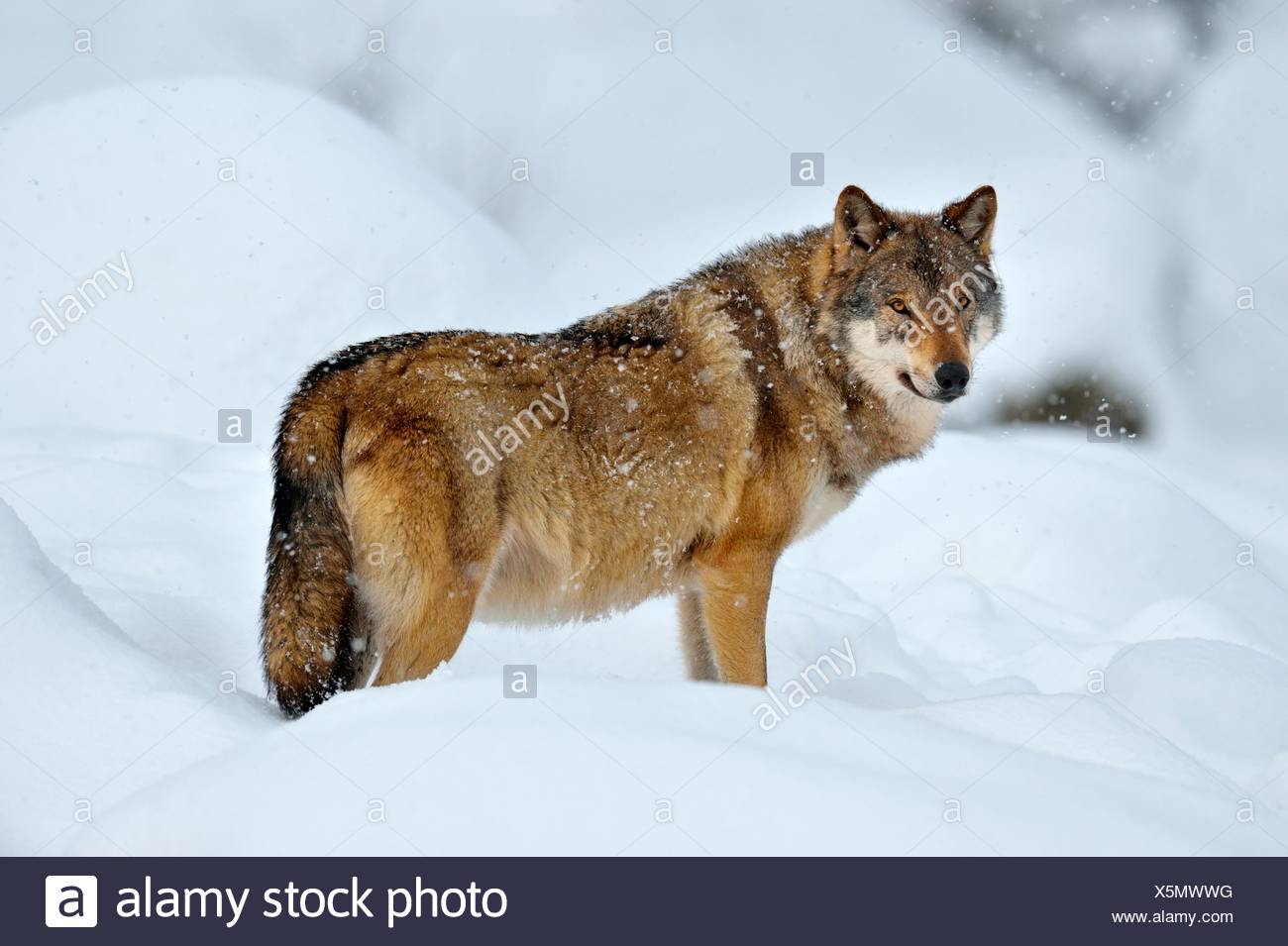 Eurasian wolf, also common wolf or Middle Russian forest wolf (Canis lupus lupus) standing in snow, Canton of Schwyz - Stock Image