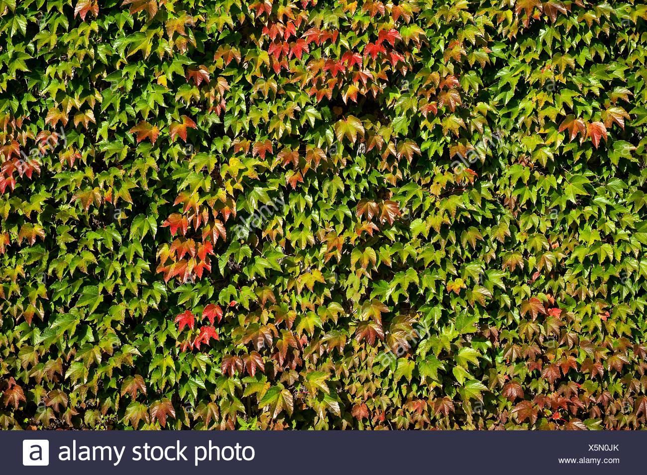 Wall of Boston Ivy - Stock Image