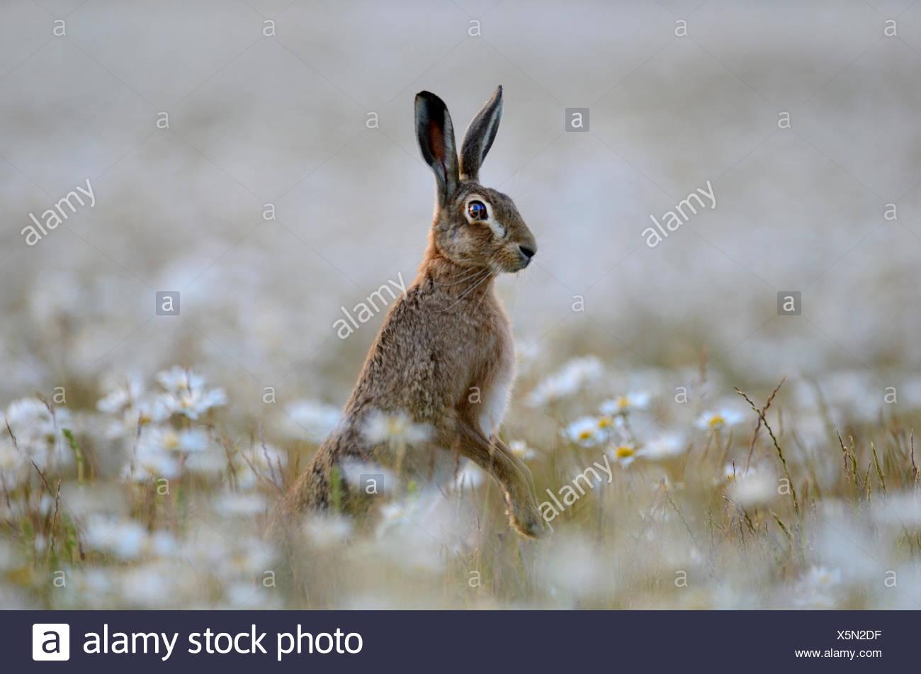 Brown Hare Lepus europaeus in Ox-eye Daisies Norfolk summer - Stock Image