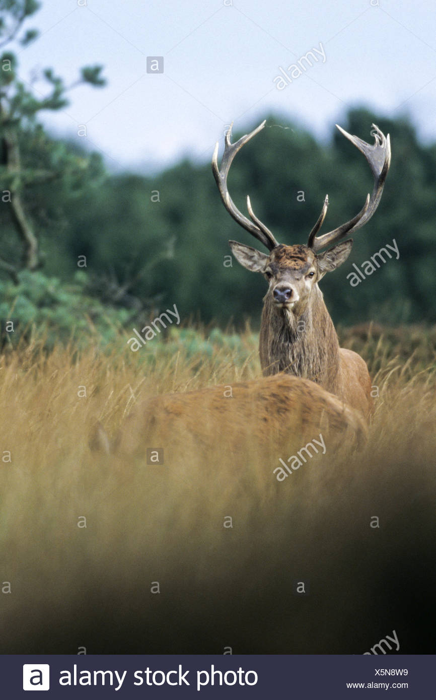Red Deer in the wild they live 10 to 15 years Stock Photo