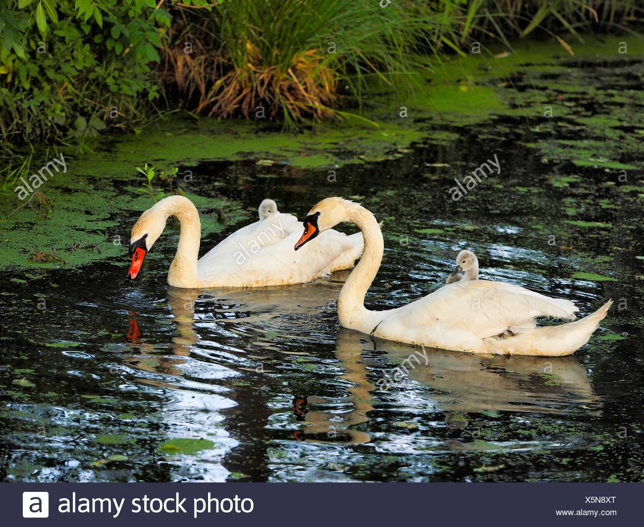 mute swan (Cygnus olor), mute swans with chicks, Germany, Saxony Stock Photo