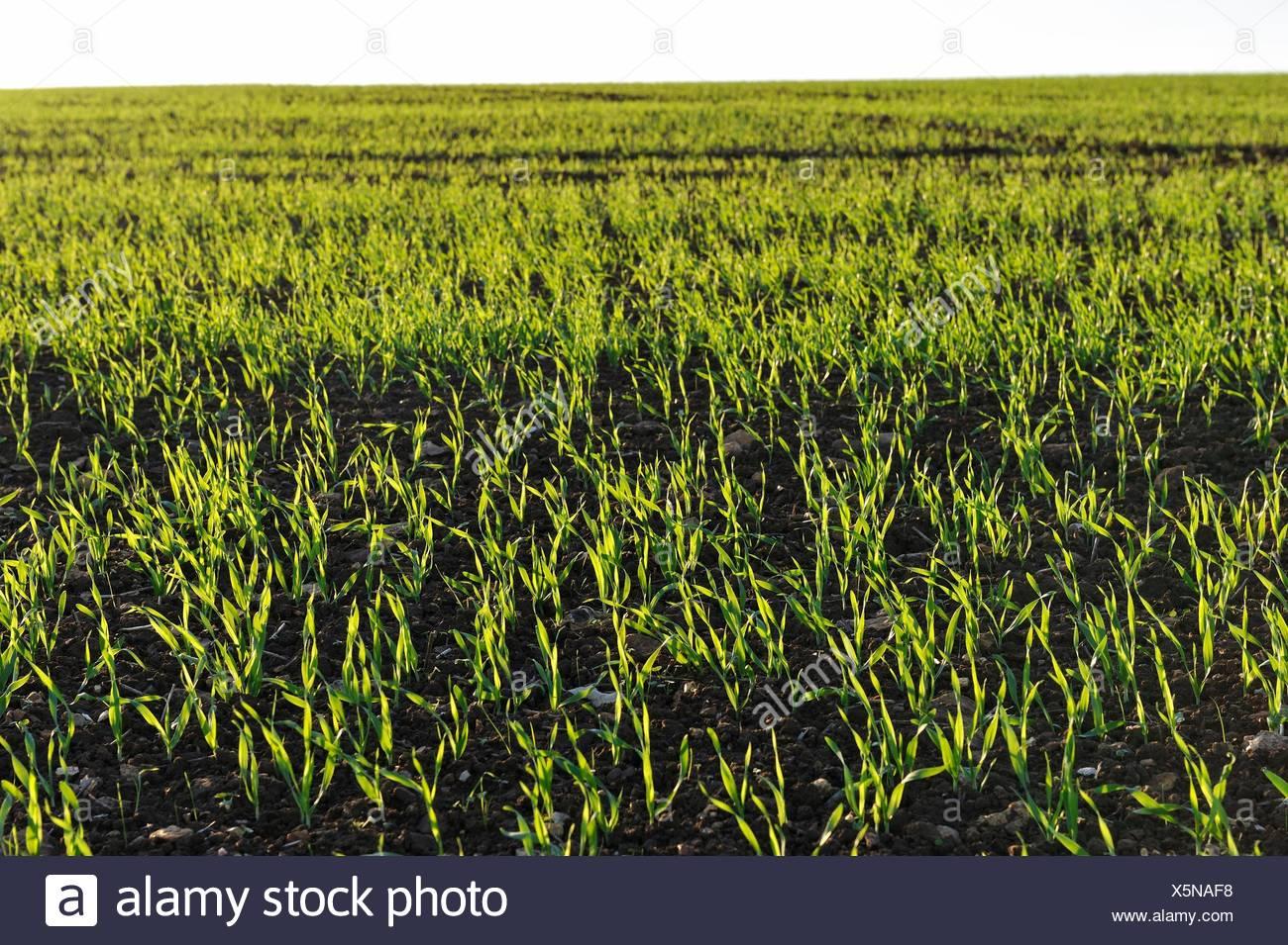 winter wheat field, Eure-et-Loir department, Centre-Val de Loire region, France, Europe. - Stock Image