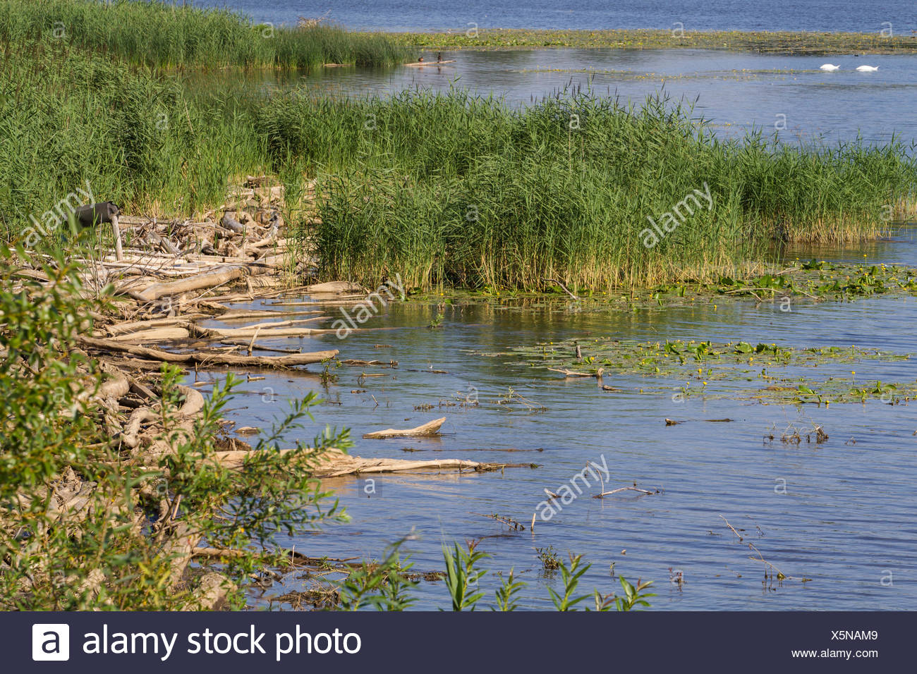 lakeside with driftwood and reed, Germany, Bavaria, Lake Chiemsee - Stock Image