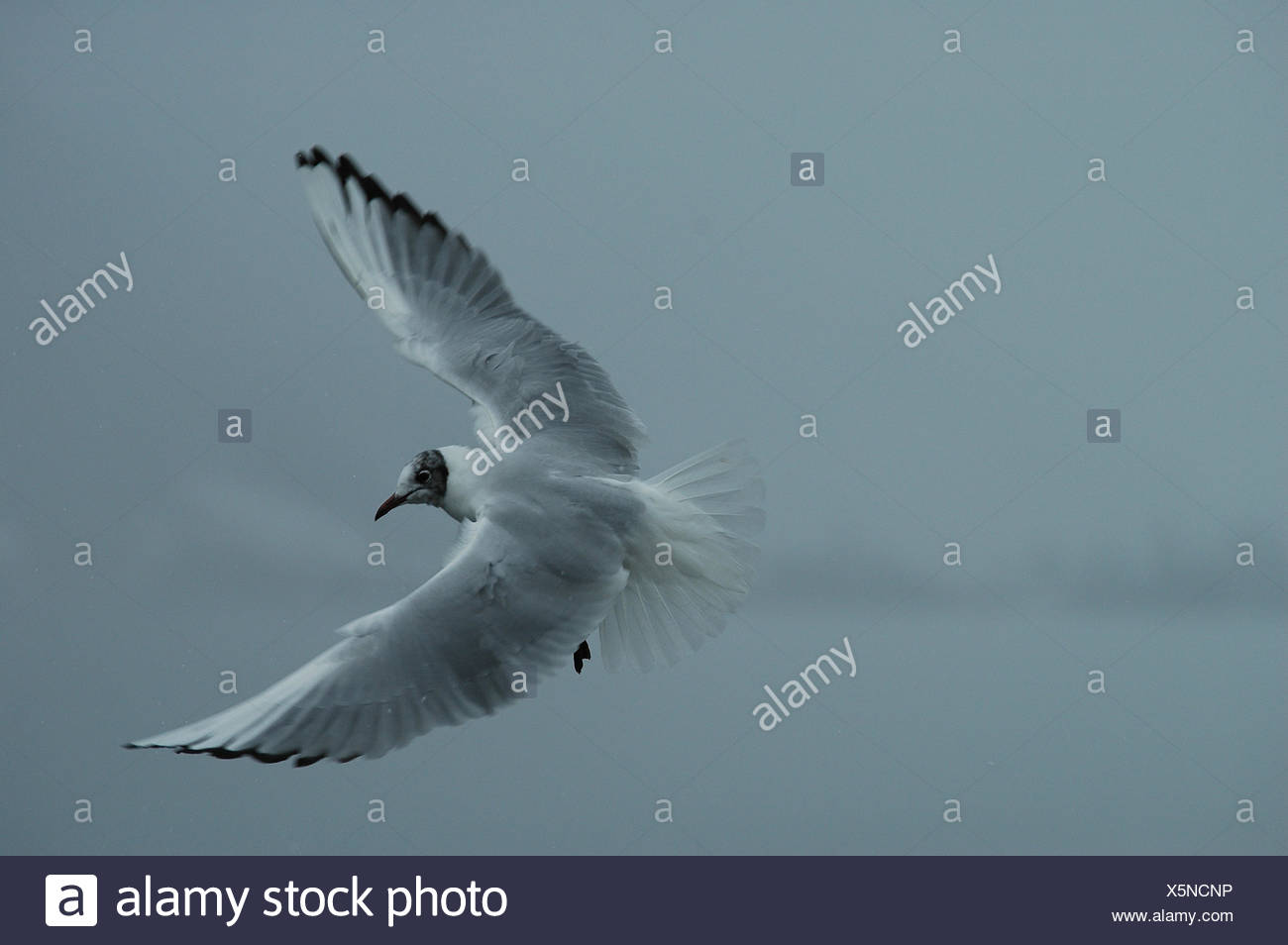 winter,switzerland,grey,gray,fly,flies,flys,flying,mve,bielersee - Stock Image