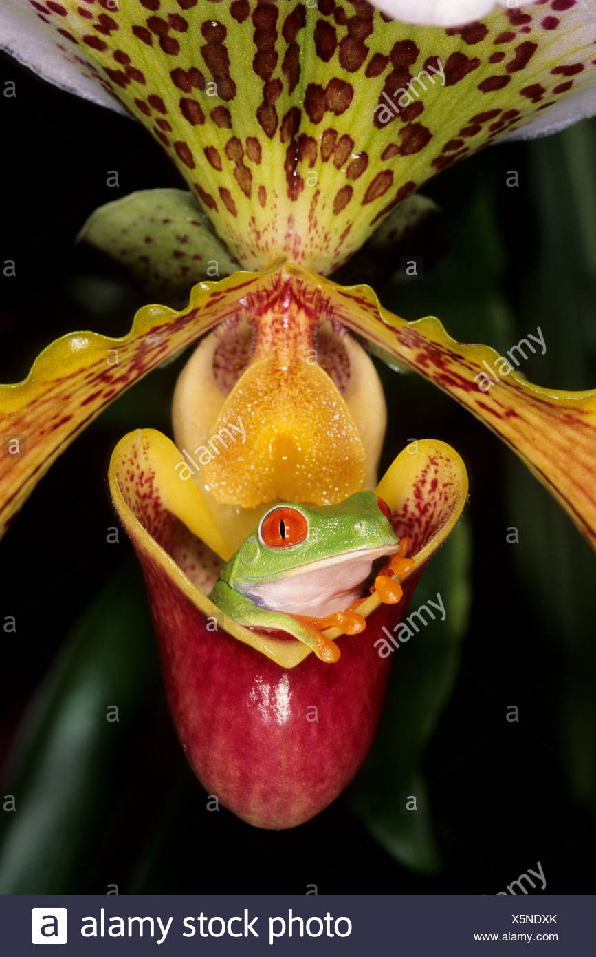 Red eyed tree frog in a sleeper lady orchid - Stock Image