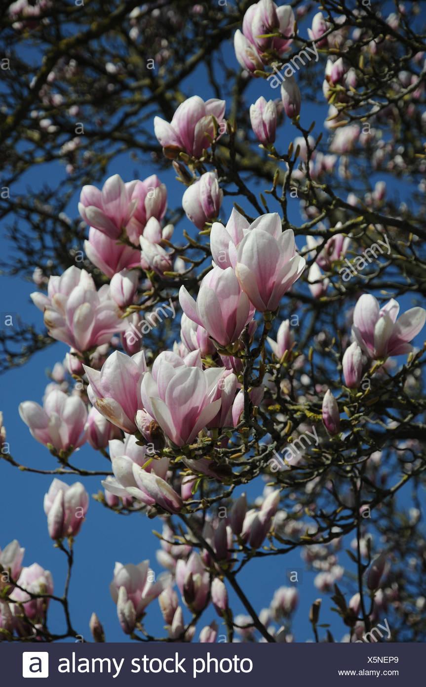 Saucer magnolia - Stock Image