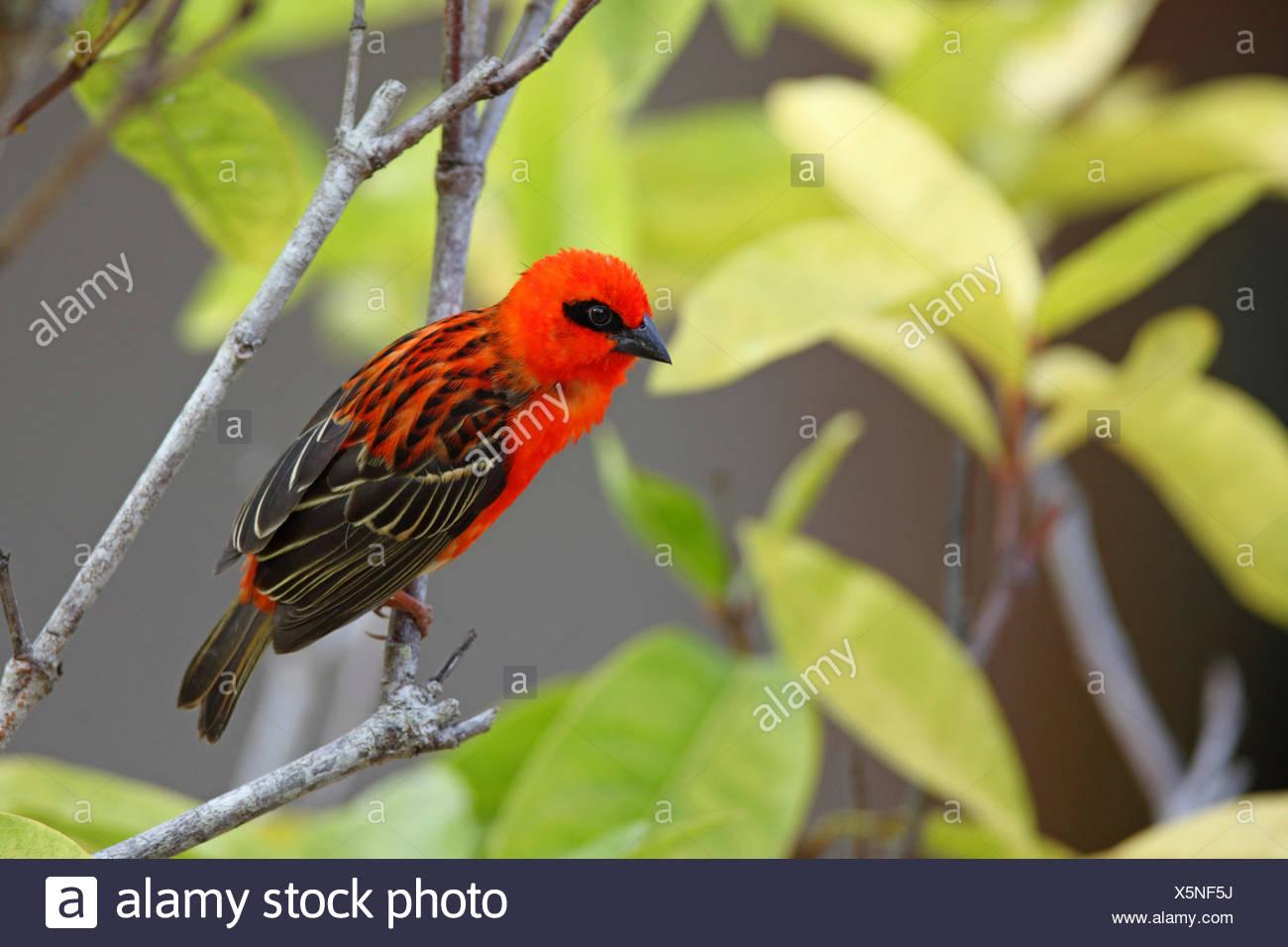 Madagascan red fody (Foudia madagascariensis), male sitting in a shrub, Seychelles, Praslin - Stock Image