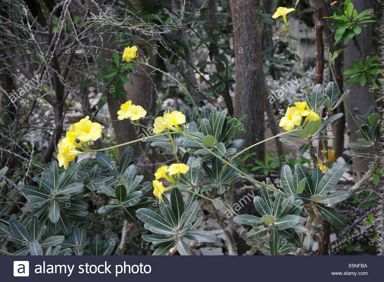 Elephants foot plant - Stock Image
