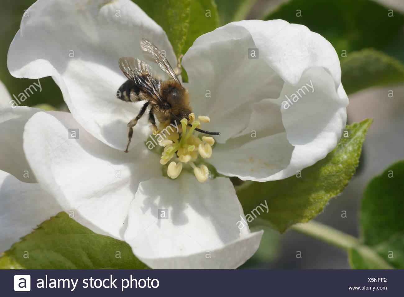 Malus domestica, Apple, Wild Bee - Stock Image