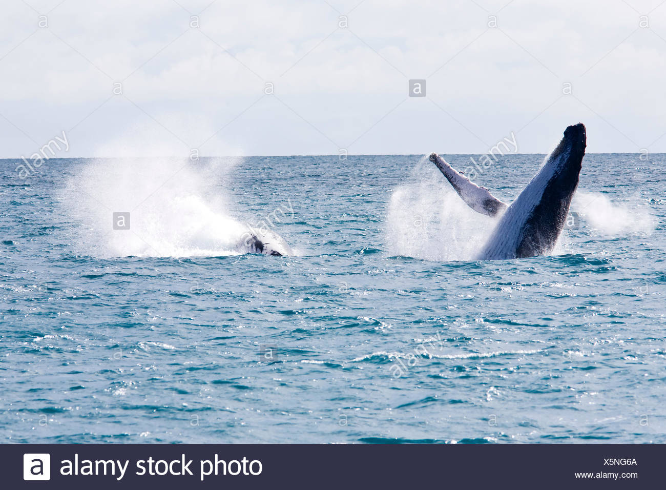 spring bouncing bounces hop skipping frisks jumping jump mammals islands brazil south america parade state common whale love in - Stock Image