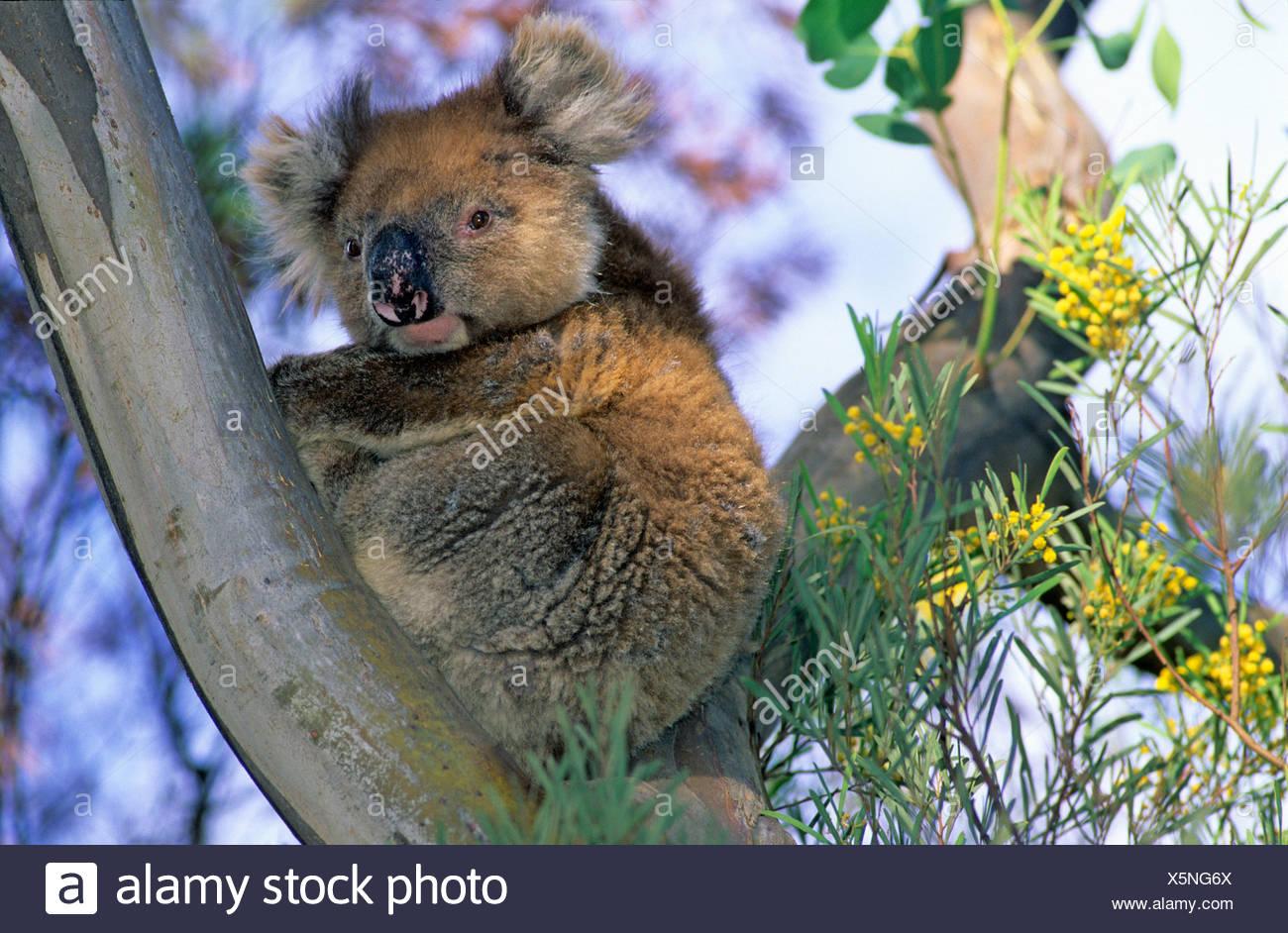 Koala in an Eucalyptus tree, Kangaroo Island, South Australia, Australia - Stock Image